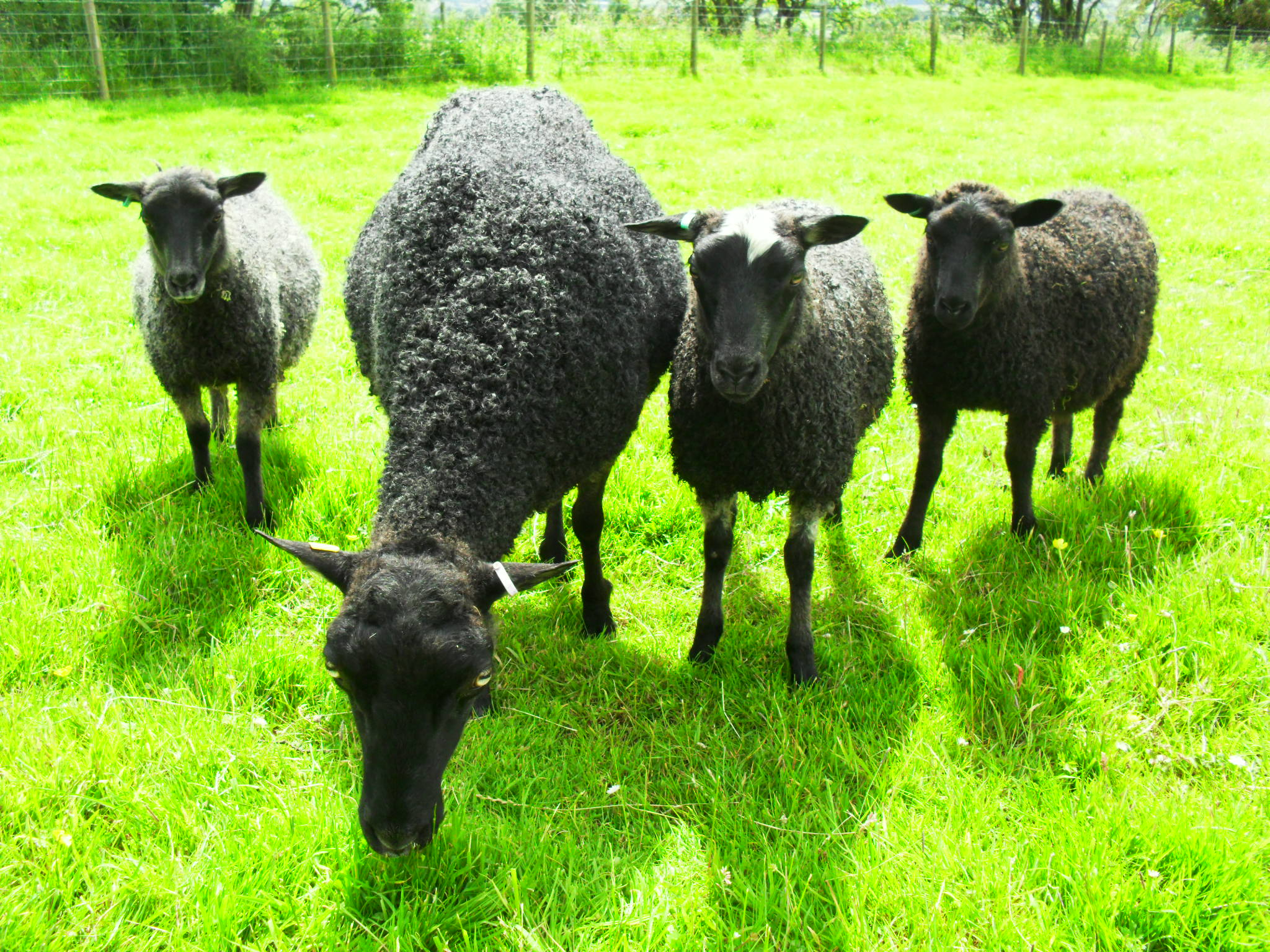 Eden Dilly Dally and triplet ewe lambs