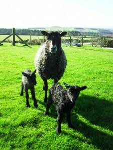 Dancer lambs