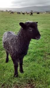 Eden Kingdom tup lamb