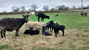 Gotland lambs at Scalerigg play time